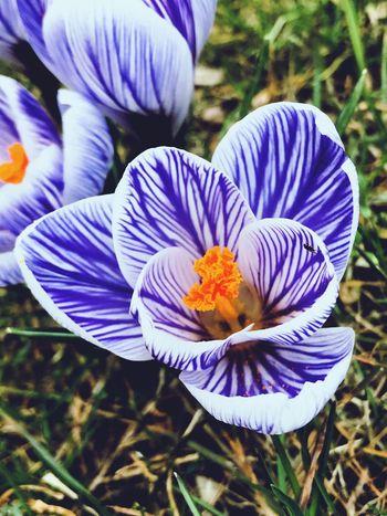 Spring Flowers Spring EyeEmNewHere EyeEm Nature Lover Crocus Flower Flower Flowering Plant Fragility Petal Vulnerability  Plant Beauty In Nature Flower Head Freshness Nature Crocus No People Day Pollen Focus On Foreground Purple
