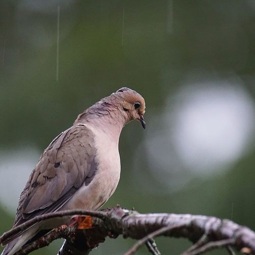 EyeEm Selects Animal Wildlife Bird Perching One Animal No People Branch Outdoors Tree Beauty In Nature Mourning Dove Animal Themes Nature Rain