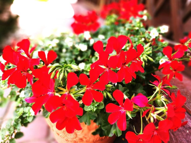 RedFlower Redflowerpower Beautyflower Bestshot Village Hello World Check This Out Nature Photography Nature Beauty Sunny Day Taking Photos Relaxing Beautiful Flowers