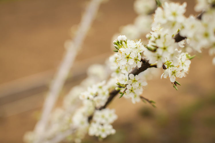 Blossoming of