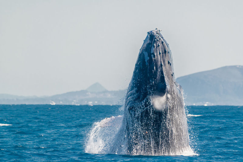 Animal Themes Animals In The Wild Beauty In Nature Clear Sky Day Humpback Whale Motion Mountain Nature No People One Animal Outdoors Sea Sea Life Sky Water Waterfront Whale