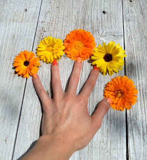 Summertime Beauty In Nature Body Part Daisy Finger Flower Flower Head Flowering Plant Fragility Freshness Hand Holding Human Body Part Human Hand Human Limb Inflorescence One Person Orange Color Outdoors Petal Plant Real People Vulnerability  Wood - Material Yellow