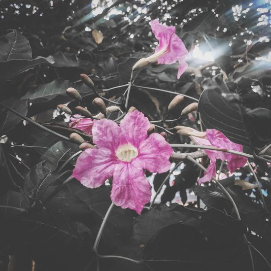 Flower Pink Color Petal Fragility Beauty In Nature Growth Nature Freshness Flower Head Plant Leaf Blooming Outdoors IPhoneography Iphoneonly Iphonepic Iphonephotography IPhone Photography nNo PeopledDay Millennial Pink