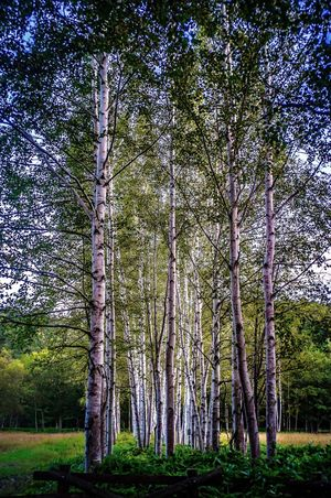 Tree Nature Forest Tranquility Outdoors Beauty In Nature No People Tranquil Scene Growth Green Color Tree Trunk Scenics Low Angle View Landscape Sky Grass Japanese White Birch Row Of Trees Soul Of A Tree Memories 2013 Kamishihoro Hokkaido Japan