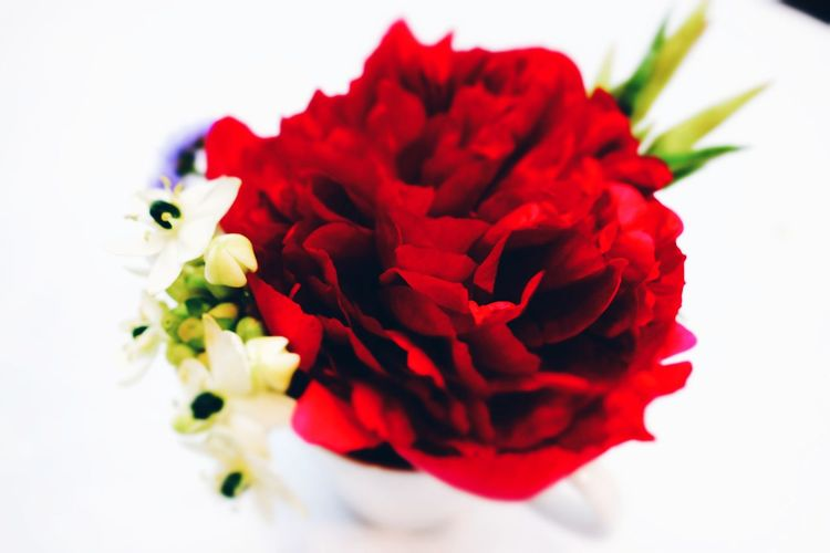 EyeEm Best Shots Blurry On Purpose Selective Focus Studio Shot Red Flower Red White Background Close-up Single Rose