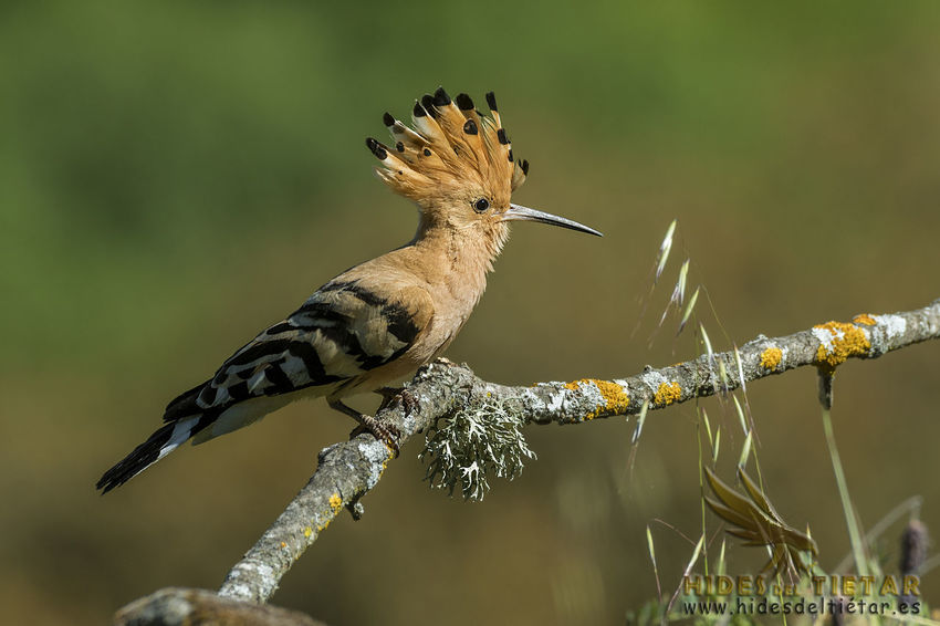 Upupa Epops Abubilla Animal Animal Themes Animal Wildlife Animals In The Wild Beauty In Nature Bird Branch Close-up Day Focus On Foreground Hoopoe Nature No People One Animal Outdoors Perching Plant Tree Vertebrate
