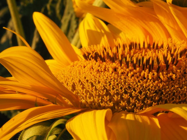Beauty In Nature Close-up Flower Flower Head Fragility Growth Nature Petal Pollen Pollination Stamen Of The Flower Stamens Sunflower Sunflowers Sunset Yellow
