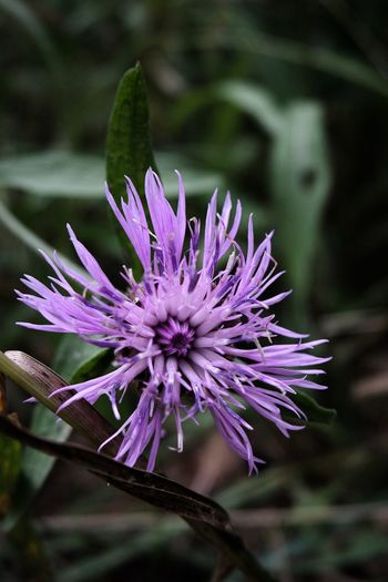 Bosque Campo Country Dark Flowers,Plants & Garden Morado Nightphotography Violeta Beauty In Nature Blooming Close-up Day Flor Flower Flower Head Forest Fragility Freshness Growth Nature Night No People Outdoors Plant Purple