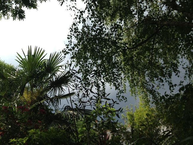 Moody late afternoon stormy sky looking up in my walled Peckham London garden! No edit no filter just as seen! Garden Trees Stormy Weather Natural Beauty