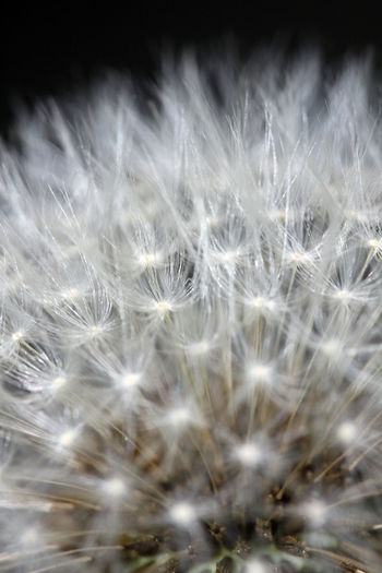 Backgrounds Beauty In Nature Close-up Dandelion Dandelion Seed Flower Flower Head Fragile Beauty Fragility Macro Macro Beauty Nature Outdoors Plant at Alter Botanischer Garten in Göttingen  Germany EyeEmNewHere Sommergefühle