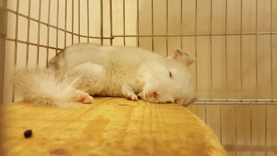 By SS Note5 No Filter South America Pet My Pet Pet Chinchilla Photography Pet Lover Cute Pet Pet Photography  Chinchilla Lover Chinchilla Sleeping Chinchilla Sleeping Pet