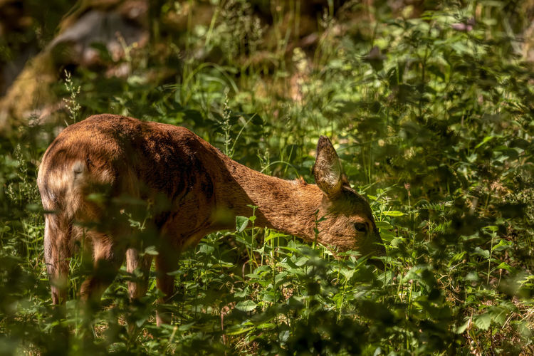 Roe deer in forest in stockholm