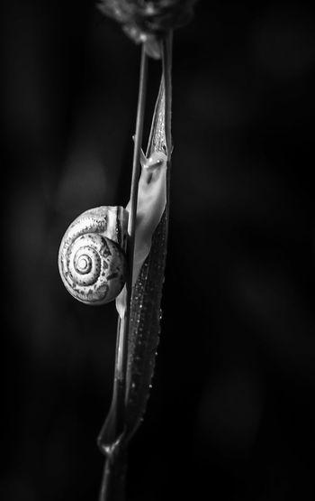 Close-up of snail on leaf against black background