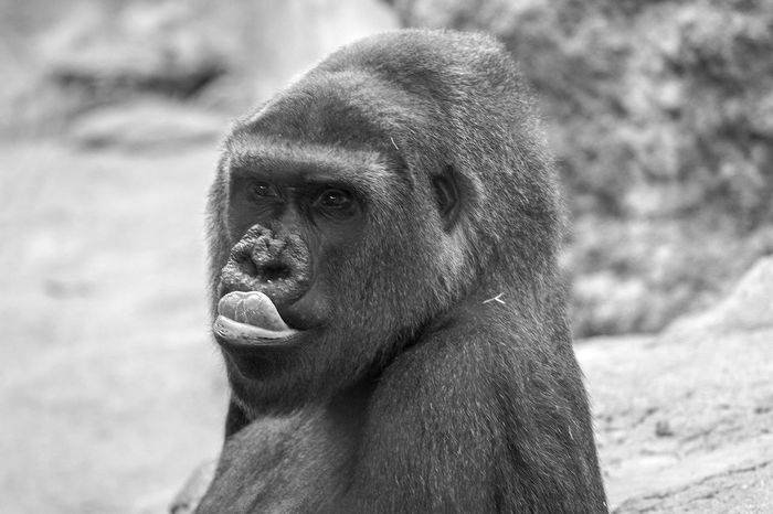 diner time.. yum! Animals Zoo Gorilla