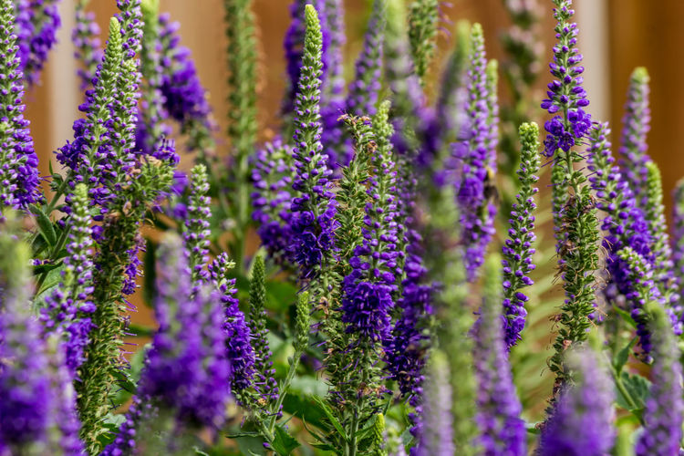 Close-up of lavender flowers blooming outdoors