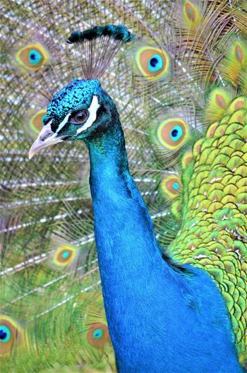 Peacock Animal Animal Themes Bird One Animal Vertebrate Animal Wildlife Animals In The Wild Peacock Feather Close-up Blue Animal Body Part No People Feather  Fanned Out Beauty In Nature Animal Head  Day Nature Multi Colored Beak Outdoors Animal Eye Animal Neck