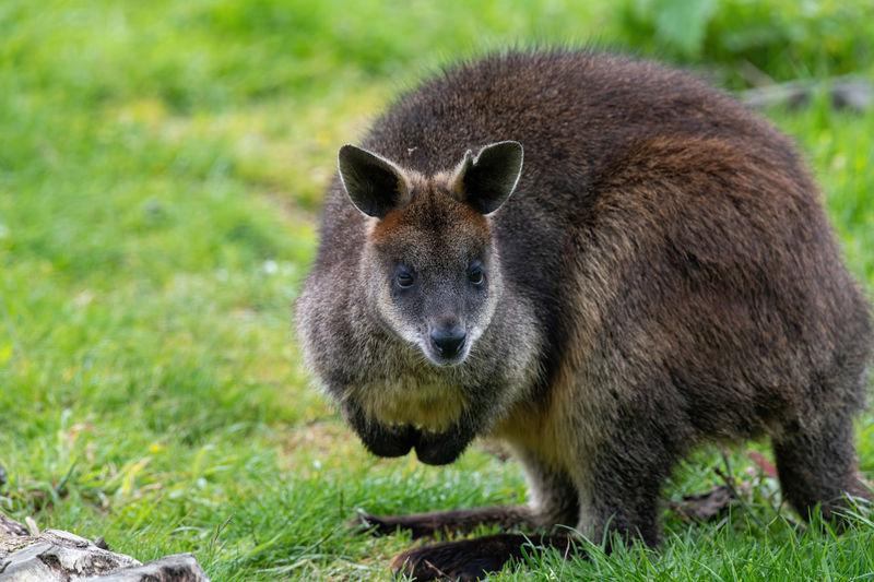 Kangaroo on land