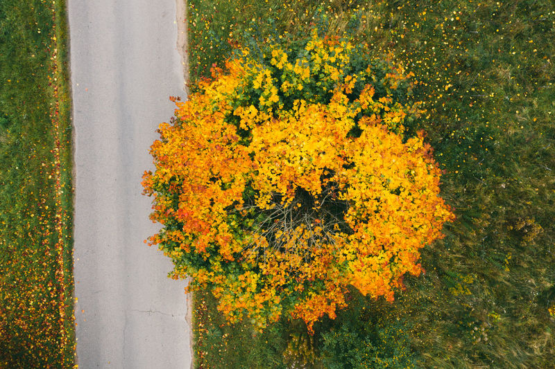 Autumn view of a maple tree standing near the road