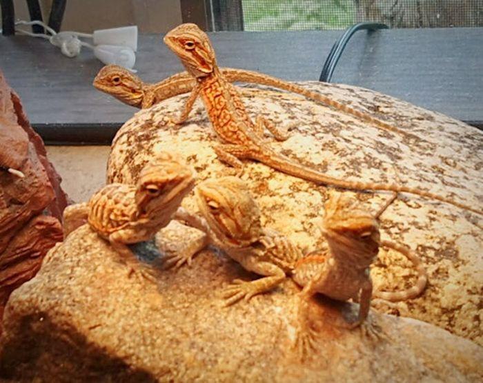 Pogona Reptile Bearded Dragon Babies Silkies Leatherbacks Transparent Hypo Larry Moe Curly Shemp Curly Joe