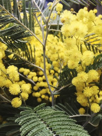 Womansday Womans Day International Women's Day Mimosas Mimosa Tree Mimosa Flowers Mimosa 8 March 8 марта международныйженскийдень Yellow Growth Flower Fragility Nature Beauty In Nature Plant Freshness Close-up Day Outdoors No People Flower Head