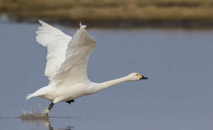 Animal Wildlife Animals In The Wild Bewick's Swan Bird Bird Migration Cygnus Bewickii Cygnus Columbianus Day Endagered Species Flying No People Outdoors Spread Wings Water White Color Wintertime