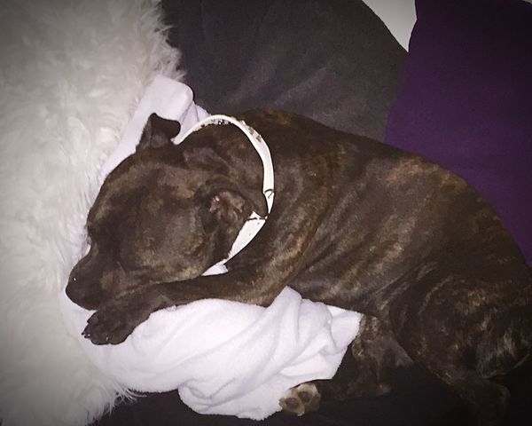 Home from vacation, so very tired from all the wonderful things me and my mommy experienced 💜 Sleep tight everyone 🌜 Offtodreamland Sleepy Puppy Staffordshire Bull Terrier Staffylove Mydogiscoolerthanyourkids Can't Live Without Ilovemydog Enjoying Life Goodnight ♥ Goodnight World