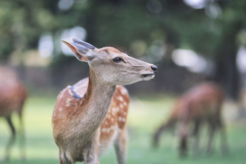 Close-up of deer standing on field