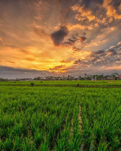 Sunset at rice