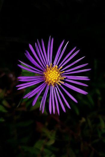 Flower Close-up Petal Growth Purple Single Flower Flower Head Botany