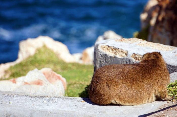 Animal Wildlife Animals In The Wild Close-up Dassie Day Focus On Foreground Land Mammal Nature No People One Animal Outdoors Rock Rock - Object Sea Solid Sunlight Water