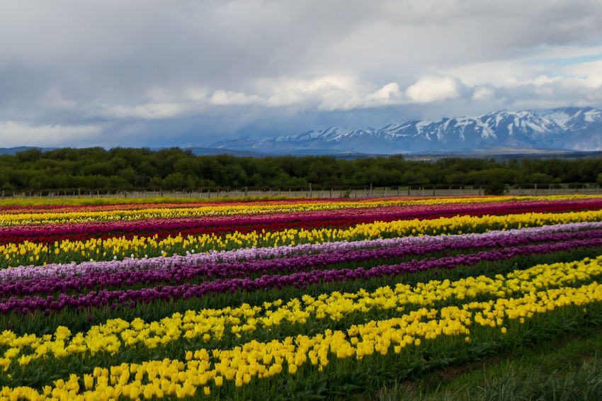 Tulips grown in Trevelin (Argentina) Trevelin Agriculture Beauty In Nature Cloud - Sky Day Field Flower Flowerbed Fragility Freshness Growth Landscape Mountain Range Multi Colored Nature No People Outdoors Plant Purple Rural Scene Scenics Sky Tranquil Scene Tranquility Yellow