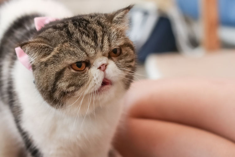 The Angry Cat, Cute Cat Angry Cat Lovely Cat Cute Cats Domestic Pets Mammal Domestic Animals Domestic Cat One Animal Cat Feline Close-up Vertebrate Animal Body Part Indoors  Relaxation Human Body Part Young Animal Body Part Whisker People Kitten Human Limb
