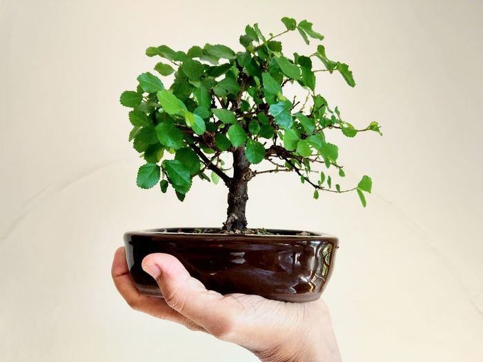 My love tree Japanese Style Bonsai Collection Mini Plants Bonsai Mini  Teraphy Cultivando Mini árvores Flôr De Lótus Green Teraphy Eyeem Market Human Hand Tree Environmentalist Water Leaf Cultivated Holding Environment Environmental Conservation Close-up Bonsai Tree