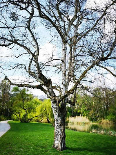 Tree in the middle... EyeEm NatureLover Tree Branch Bare Tree Sky Grass Green Color Park Single Tree Path Willow Tree