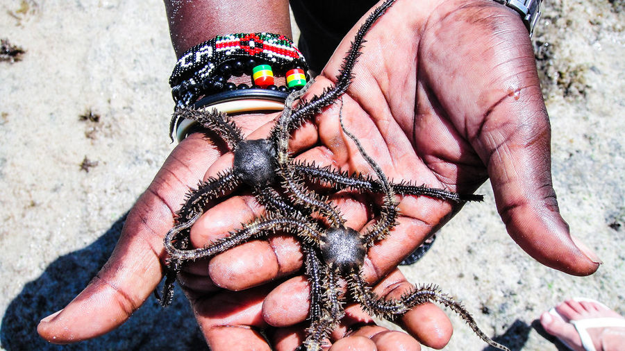Cropped Hands Of Man Holding Brittle Sea Stars At Beach