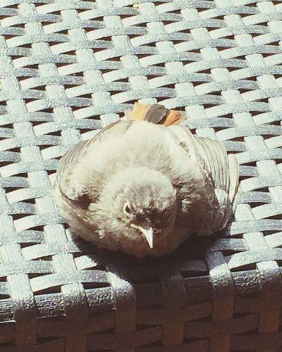Hausrotschwanz Sunbathing☀ Rescued Bird