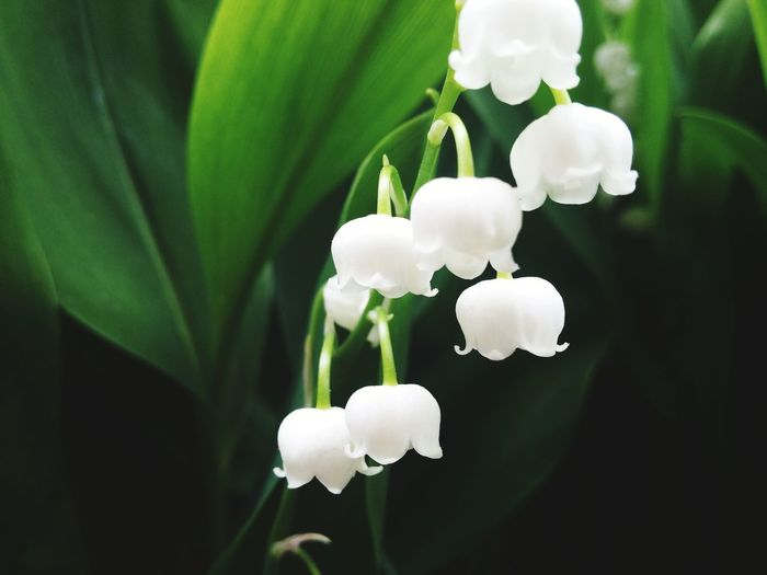 Flower Plant Nature Petal Flower Head Close-up No People FragilityBeauty In Nature Freshness Lily Of The Valley Greenery Green And Black Perspectives On Nature