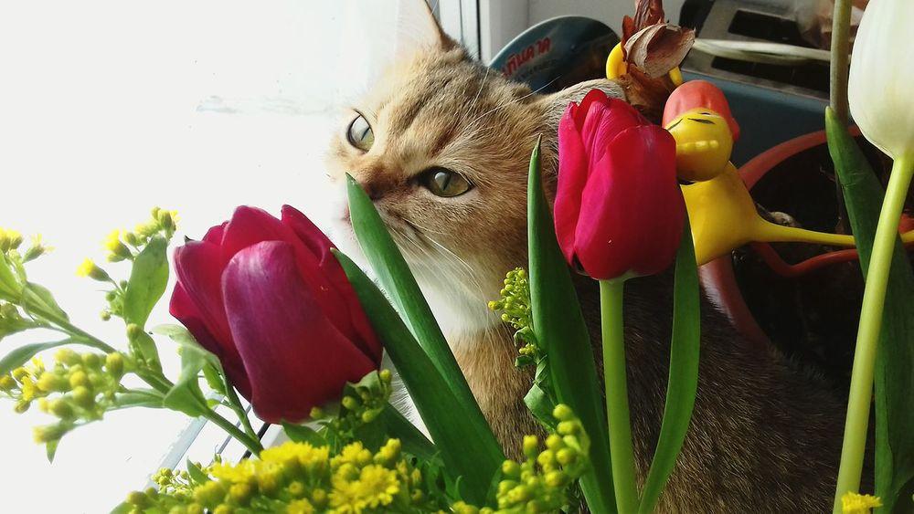 Cat Cat Lovers Britishcat First Eyeem Photo британская Butiful Britishcats британцы Flowers Flowers,Plants & Garden Tulips🌷 Tulips Tulip Tulpen