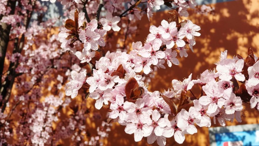 cherry blossoms Tree Flower Branch Springtime Close-up Cherry Blossom Cherry Tree In Bloom Orchard Blossom Pollen Blooming Plant Life Botany Apple Blossom Fruit Tree Twig Petal Apple Tree Stamen Flower Head Osteospermum Cosmos Flower Pistil Hibiscus