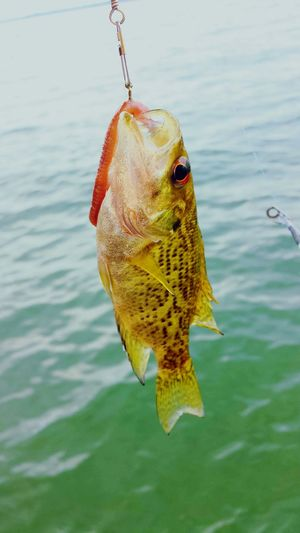 Small fishey Fish Fishing Fishing Hook Catch Of Fish Water Close-up Nature Outdoors Day Hanging Fun Beauty In Nature