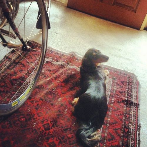 Waiting for mama @treasureshoe to get home from work. Dachshund Dollythedashy .
