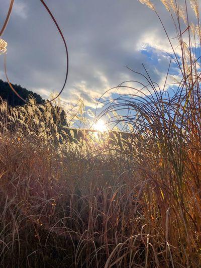 陽が沈む。世界の色がくるくる移り変わる時間が来た。 Sunlight Sunflare Pampas Grass Japanese  EyeEm Nature Lover Flare Sunset Silhouettes Sunset Backlight Sky Cloud - Sky Nature Tranquil Scene Tranquility Growth No People Outdoors Grass Beauty In Nature Scenics Sunlight Day Close-up