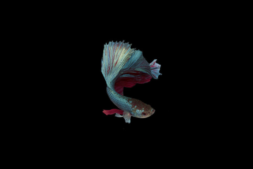 Siamese fighting half moon Betta fish Animal Animal Themes Animal Wildlife Animals In The Wild Beauty In Nature Black Background Close-up Copy Space Cut Out Flower Flower Head Flowering Plant Fragility Indoors  Marine Nature No People One Animal Plant Studio Shot Swimming Vulnerability