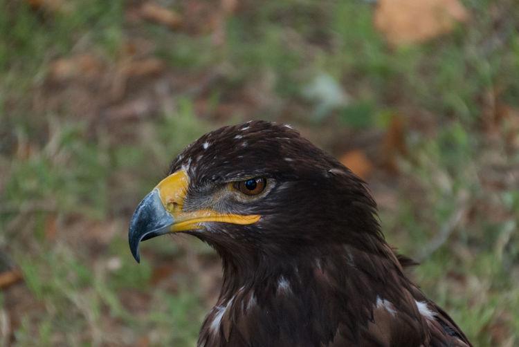 Eagle Animal