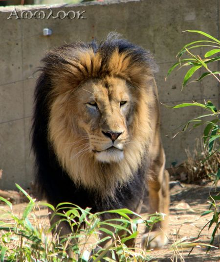 Lion Awwlook