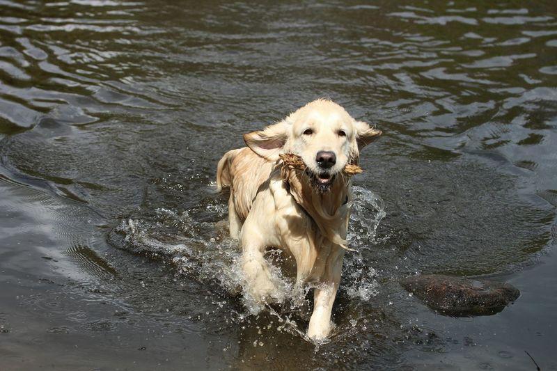Golden Retriever sind Wasserapportierhunde. Und nasser Hund... Goldenretriever Hund Dog Wasser Water See Summer Dogs