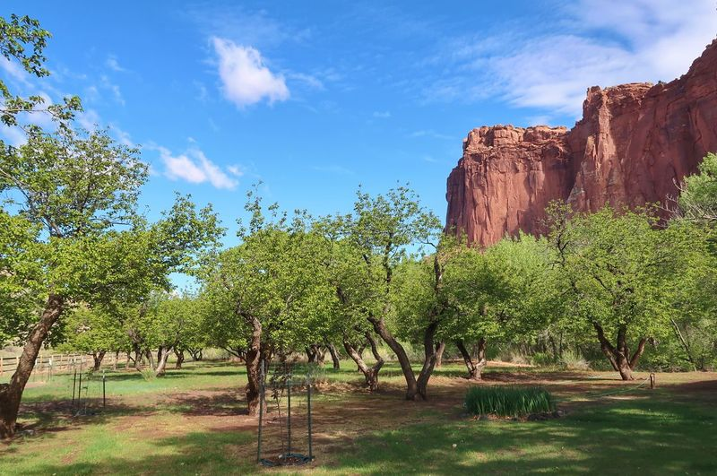 Landscape of fruit trees in spring against beautiful red cliffs Red Cliffs Capitol Reef National Park Plant Sky Cloud - Sky Tree Nature Growth No People Tranquil Scene Beauty In Nature Tranquility Land Environment Sunlight Day Blue Low Angle View Green Color Outdoors Landscape Scenics - Nature