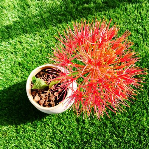 Blooming lilly Goodmorning Sunshine Balcony Football Lily Plant Flowering Plant Flower Grass Growth Nature Land High Angle View No People Outdoors Beauty In Nature Red Tranquility Day Green Color Sunlight Freshness