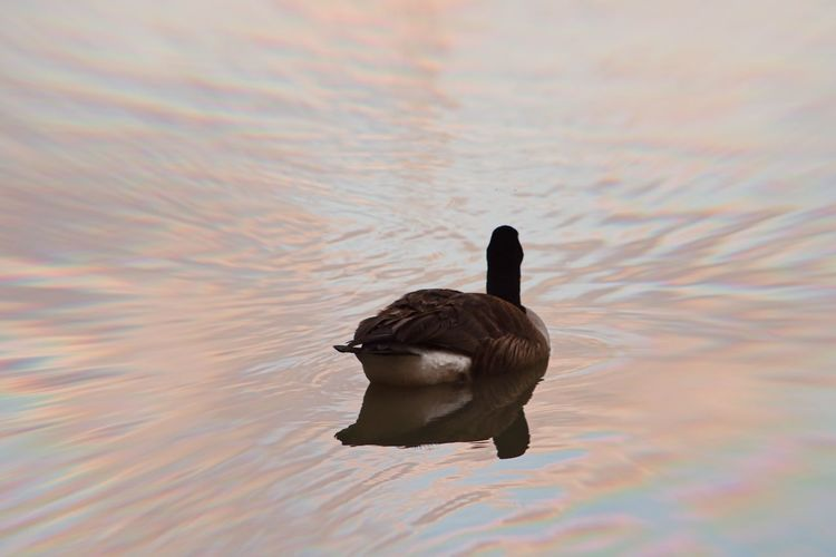 Duck swimming in a lake