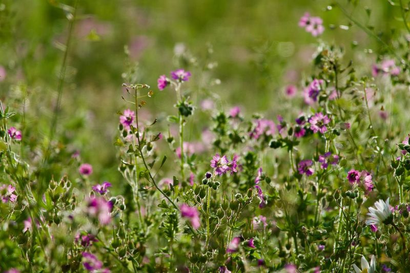 Flower Flowering Plant Plant Freshness Beauty In Nature Fragility Vulnerability  Nature Land Selective Focus Flower Head Outdoors Day Focus On Foreground Field Green Color Pink Color Wildflower Growth No People
